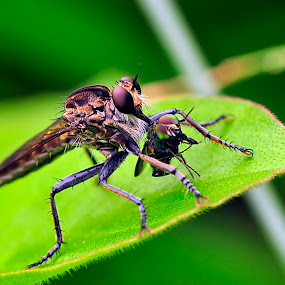 .. lunch .. by Agus Wahyudi Photoworks - Animals Insects & Spiders