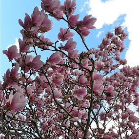 Mognolias reaching for the sky. by Peter DiMarco - Flowers Tree Blossoms ( pink flower, flowers, blossoms, magnolia, floral,  )