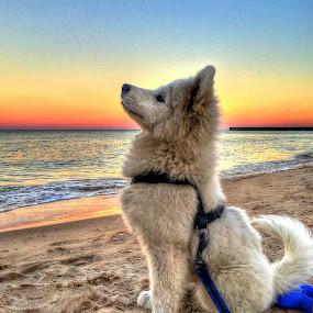 SLEIGH by Louis Perlia - Animals - Dogs Portraits ( semoyed, dogs, sunset, pet, sleigh, beach, dog )