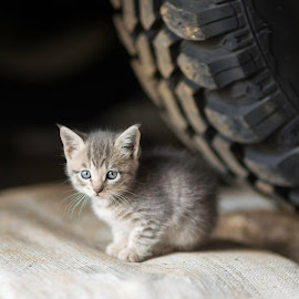 a Land Rover trained kitten by Annette Flottwell - Animals - Cats Kittens ( gato, kitten, cat, garage, tyre, grey )