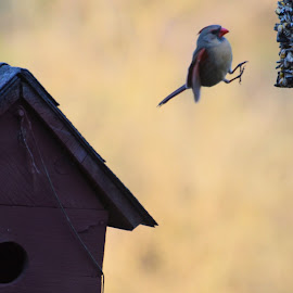 Cardinal Leap by Sidney Vowell - Novices Only Wildlife ( bird, cardinal, wildlife, jump, feeder )