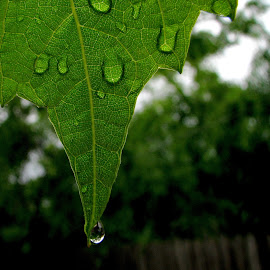 *** by Adriana Petcu - Nature Up Close Leaves & Grasses ( macro, drops, green, nature, leaf )