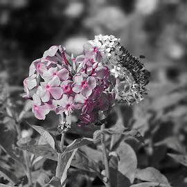 Pretty in Pink by Melissa Davis - Digital Art Things ( butterfly, butterflies, selective color, black and white, flowers )