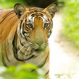 by S Balaji - Animals Lions, Tigers & Big Cats