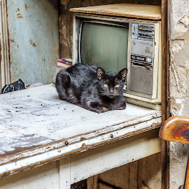 The television cat by Ruth Chudaska-Clemenz - Animals - Cats Portraits