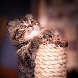 Kitty Tiger by Yuriy Lagno - Animals - Cats Kittens ( cat, kitten, котенок, scottishfold, kitty,  )