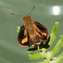 Orange Palm Dart - male