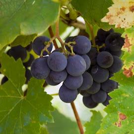 blue grape by LADOCKi Elvira - Food & Drink Fruits & Vegetables ( fruits )