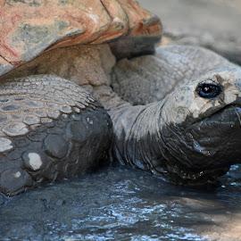 Tortoise by Dawn Hoehn Hagler - Animals Reptiles ( tortoise, zoo, reid park zoo, desert tortoise, arizona, tucson, reptile, turtle )