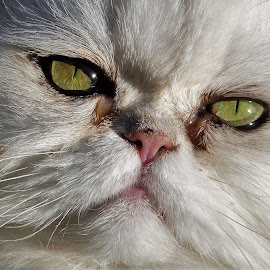 by Anja Kroes - Animals - Cats Portraits (  )