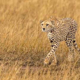 Focus Cheetah by Hymakar V - Animals Lions, Tigers & Big Cats ( cheetah, big cats, kenya, wildlife, africa )