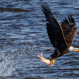 Bald Eagle Catching a Fish by Buddy Woods - Animals Birds ( bird, predator, eagle, bald eagle, reptor, eagles, bald eagles, birds )