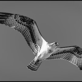 Osprey by Dave Lipchen - Black & White Animals ( osprey )