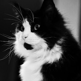 Naomi by Antoine Roels - Animals - Cats Portraits ( black & white, naomi, main coon )