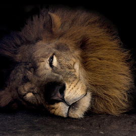 resting by Alicia Shaw - Animals Lions, Tigers & Big Cats