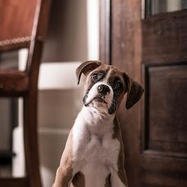 by Chris Partheniou - Animals - Dogs Portraits ( west university place, boxer, houston, texas, puppy, dog )