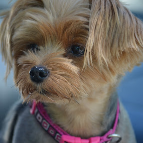 I'm gonna miss U .... by Joey Chen - Animals - Dogs Portraits ( yorkie, dog )