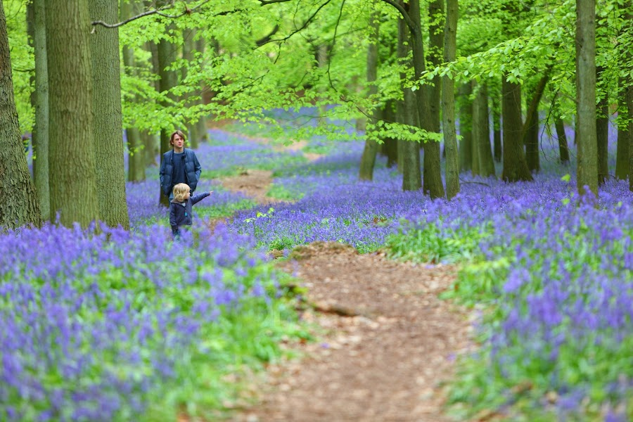 Discovery with Dad by Peter Parker - People Family ( dad, wood, green, family, path, trees, forest, leaves, discovery, boy, bluebells )