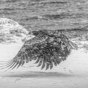 Fish eagle by Benny Høynes - Animals Birds ( canon, eagle, snowstorm, snowflake, landscape, norway )