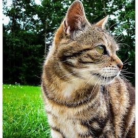 Tibbs by Stevie Toye - Animals - Cats Portraits