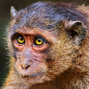 by Charliemagne Unggay - Animals Other Mammals ( animal, monkey,  )