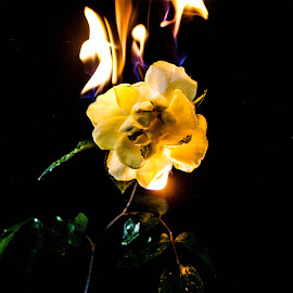 Burning Rose by D.M. Russ - Artistic Objects Still Life
