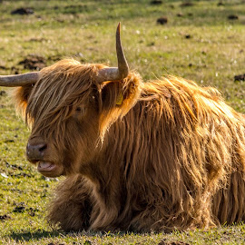 Chewing it over by Richard Simpson - Animals Other ( highland, horns, cow horns, cow, highland cattle, cattle )