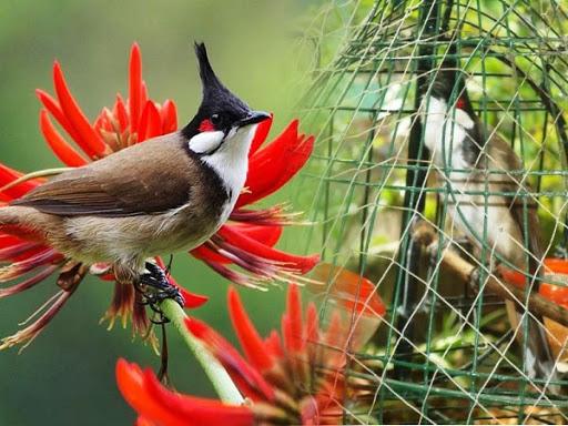 Cách chăm sóc chim chào mào non để chúng nhanh lớn và hót hay