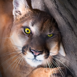 Hypnoteyes by Andy Taber - Animals Lions, Tigers & Big Cats (  )