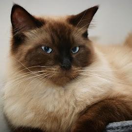 Jasper  by Kirsten Evans - Animals - Cats Portraits