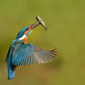 Kingfisher  by Keith Bannister - Animals Birds ( nature, kingfisher, wildlife, alcedoatthis, birds )