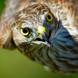 Sharp-shinned Hawk close up by Jacob Hargis - Animals Birds ( birds of prey, raptor, accipter )