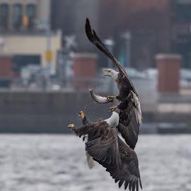 Eagle Battle by Sarah Shinners - Animals Birds ( iowa, bird of prey, battle, eagle, nature, mississippi river, bald eagle, wildlife,  )