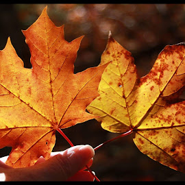 Canadian Mapleleaf  by Maggie Pearce - Digital Art Things ( #fallcolors, #autumnbeauty, #photography, #canon, #maritimescanada )
