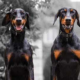 Dobermans by Jenny Trigg - Animals - Dogs Portraits ( dogs, puppy, dog, doberman, brothers )