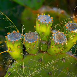 Don't Touch Me by Keith-Lisa Bell Bell - Nature Up Close Other plants ( green, plants, nature up close, flower, catus )