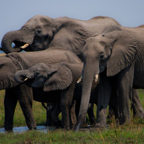 Family Quenching Thirst  by Lakshmi Vadlamani - Animals Other Mammals ( elephants thirst )