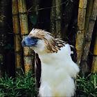 Philippine Eagle, Monkey-eating Eagle
