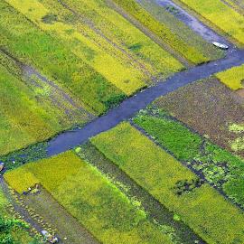 Rice harvest by George Marcu - Landscapes Prairies, Meadows & Fields ( field, ninh binh, 2013, vietnam, rice harvest )