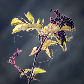 Berries by Jon Starling - Nature Up Close Trees & Bushes