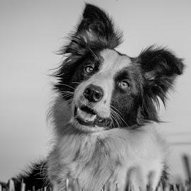 Jaycee by Marjan Smit - Animals - Dogs Portraits ( hond, straw, black & white, bordercollie, dog, zwart wit, friend, smart )