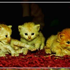 by Liyandra Roestam - Animals - Cats Kittens