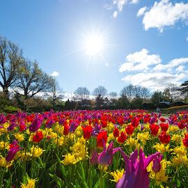 Soaking in the sun by Mitch Tranmer - Flowers Flower Gardens ( lincoln, colors, tulips, nebraska, garden )