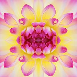 Spiegelung by Elke Krone - Digital Art Abstract ( blütenblätter, weiß, rosa, pflanze, fotokunst, blüte, dahlie, pink, blume )