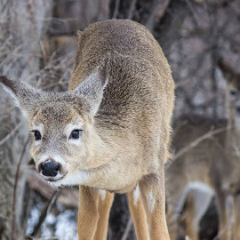you looking at me? by Mike Lafave - Animals Other Mammals