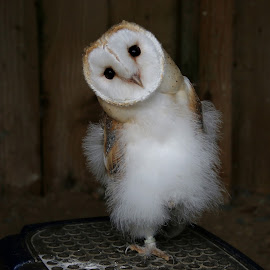 Young Barn Owl by Ann Chapman - Animals Birds ( bird, barn, owl )