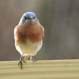 by Mary Gallo - Animals Birds ( bird, bluebird, animal )