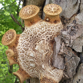 Dryads Saddle by Andrew Harris - Nature Up Close Mushrooms & Fungi ( mushroom, dryads saddle, strange, fungi, shape )
