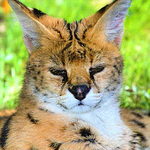 Jeune serval.jpg