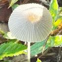 Pleated Inkcap Mushroom
